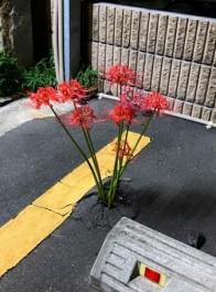 日本停车场里长出了彼岸花,结果动漫爱好者们纷纷玩起了梗